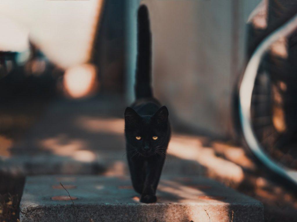 photo shows a black cat walking towards a camera at eye level